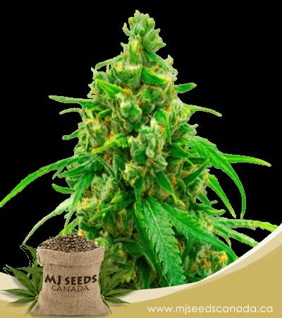 Diesel Autoflowering Marijuana Seeds