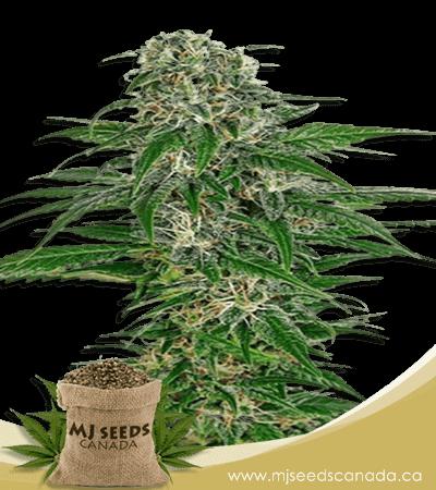 Early Skunk Feminized Marijuana Seeds