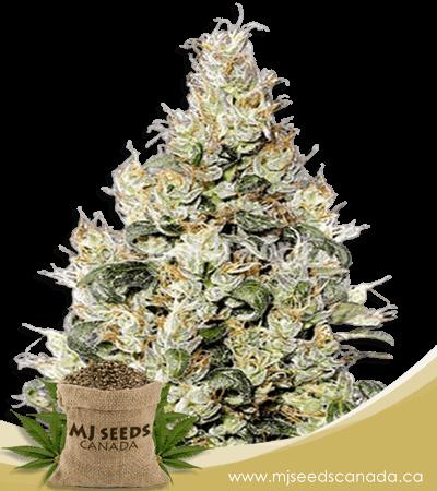 Exodus Cheese Feminized Marijuana Seeds