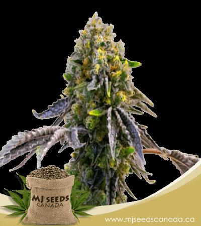 Fruit Autoflowering Marijuana Seeds