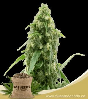 G13 Autoflowering Marijuana Seeds