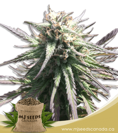 Gelato Regular Marijuana Seeds