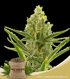 Gelato Autoflowering Marijuana Seeds