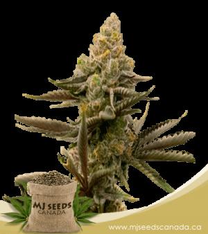 Gorilla Glue #4 Autoflowering Marijuana Seeds