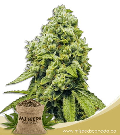 Gorilla Glue Regular Marijuana Seeds