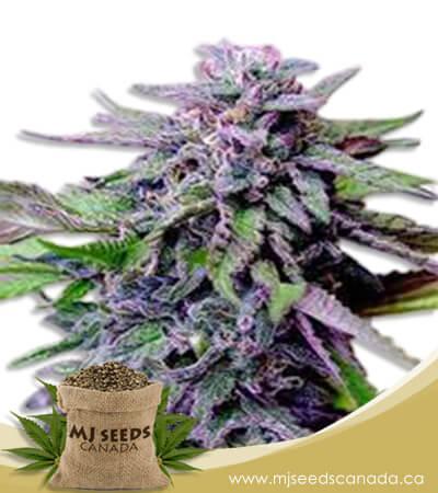 Grandaddy Purple Regular Marijuana Seeds