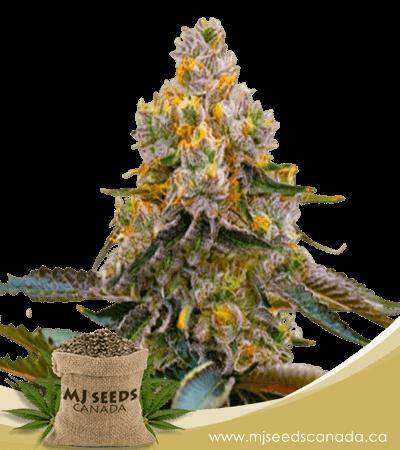 Grape Killer 99 Feminized Marijuana Seeds