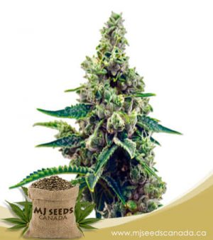 Grapefruit Autoflowering Marijuana Seeds