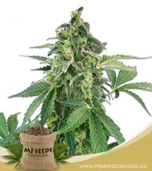 Haze Autoflowering Marijuana Seeds
