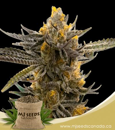 Haze XL Autoflowering Marijuana Seeds