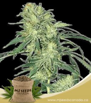 Hindu Kush Regular Marijuana Seeds