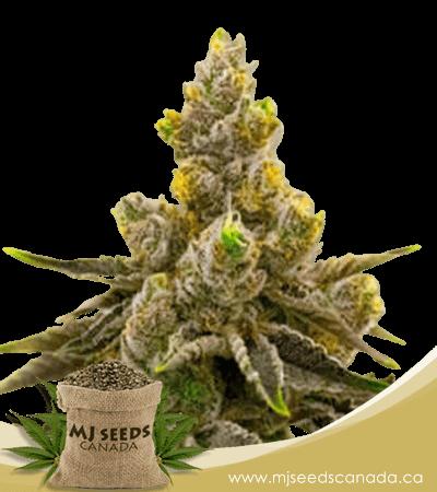 Kalimist Feminized Marijuana Seeds