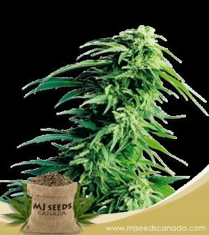 Kush XL Autoflowering Marijuana Seeds