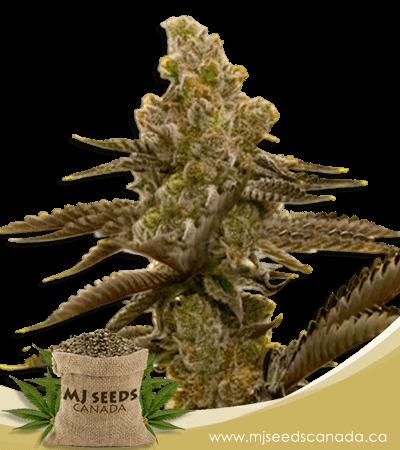 LSD Feminized Marijuana Seeds