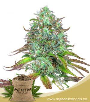 LSD Autoflowering Marijuana Seeds