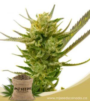 Lemon Autoflowering Marijuana Seeds