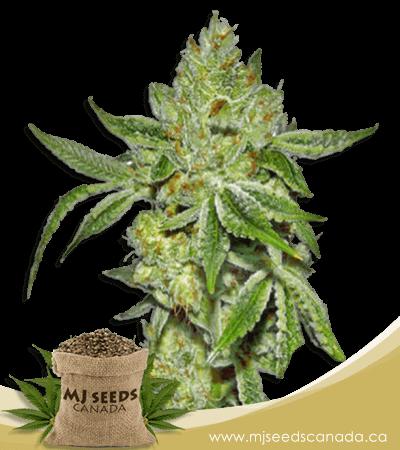 Lemon Diesel Feminized Marijuana Seeds