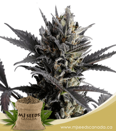 Lemon Haze Autoflowering Marijuana Seeds