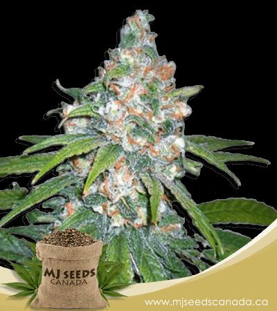 Lemon Haze Diesel Feminized Marijuana Seeds