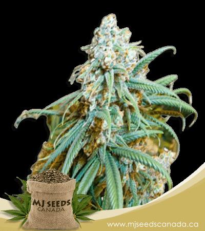 Lemon Kush Feminized Marijuana Seeds
