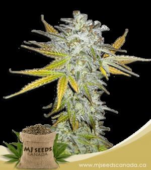 Lemon Pie Regular Marijuana Seeds