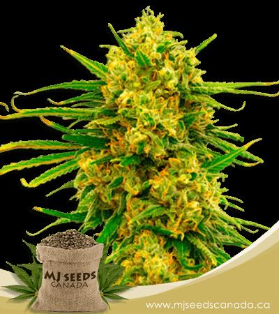 Lemon Tree Feminized Marijuana Seeds