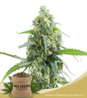 Lowryder Autoflowering Marijuana Seeds