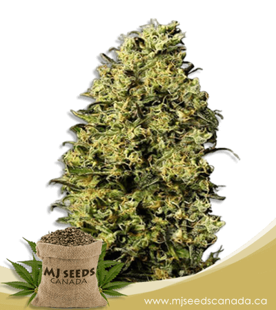 M8 Feminized Marijuana Seeds
