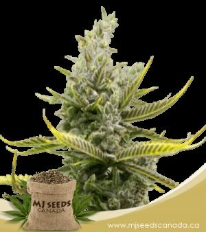 Magnum Autoflowering Marijuana Seeds