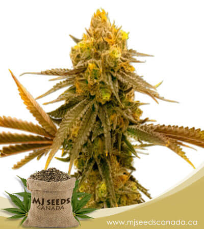 Mandarine Autoflowering Marijuana Seeds