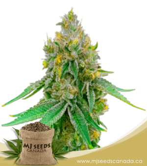 Maxigom Autoflowering Marijuana Seeds