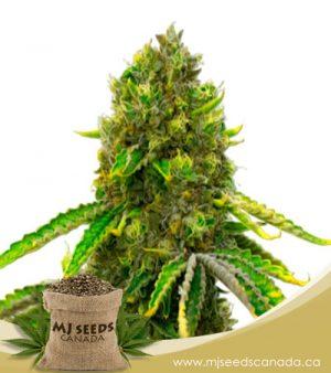 Mazar Autoflowering Marijuana Seeds