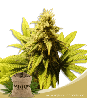 Mochalope Regular Marijuana Seeds