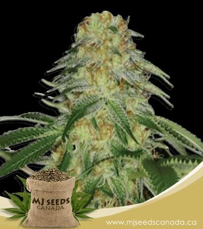 Monkey OG Feminized Marijuana Seeds