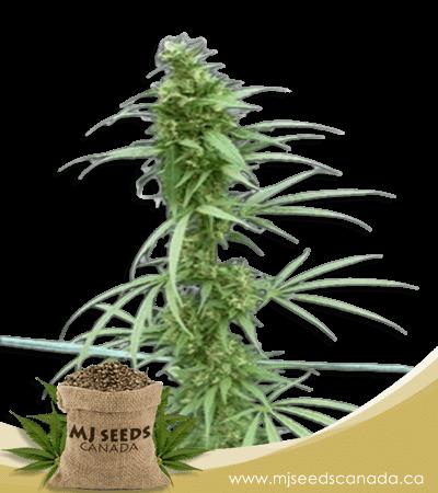Neville's Haze Feminized Marijuana Seeds