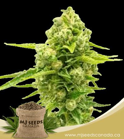 Northern Lights #10 Feminized Marijuana Seeds