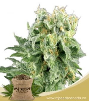 OG Kush Autoflowering Marijuana Seeds