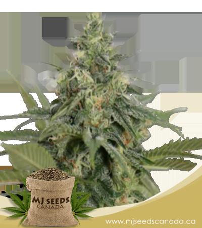 Original Lemon Pie Feminized Marijuana Seeds