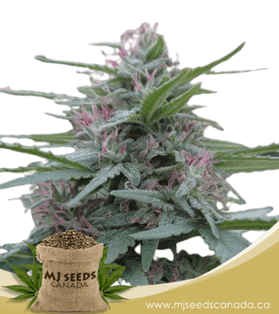 Panama Feminized Marijuana Seeds