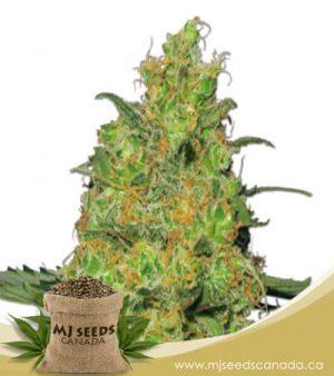 Pineapple Autoflowering Marijuana Seeds