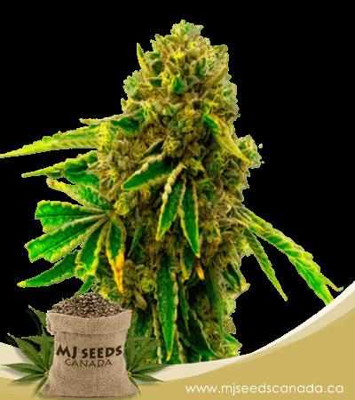 Pineapple Haze Feminized Marijuana Seeds