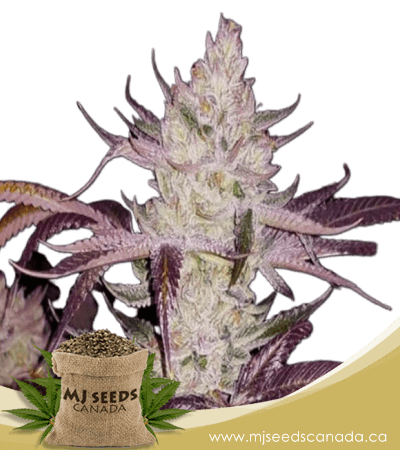 Platinum Cookies Feminized Marijuana Seeds