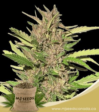 Pure Indica Feminized Marijuana Seeds