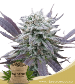 Purple Haze Autoflowering Marijuana Seeds