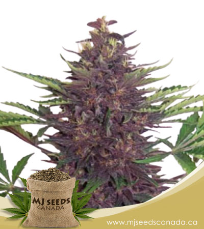 Purple Kush Autoflowering Marijuana Seeds