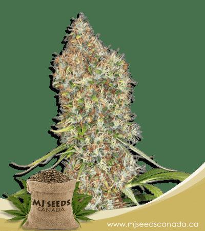 Rosenthal Feminized Marijuana Seeds