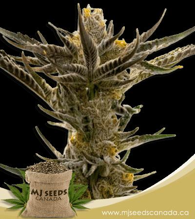 Shiskaberry Kush Feminized Marijuana Seeds