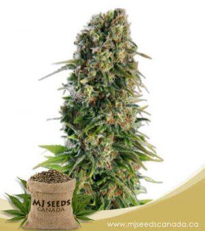 Skunk Autoflowering Marijuana Seeds