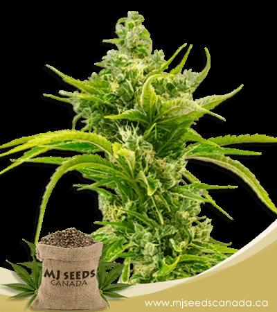 Skunk Diesel Feminized Marijuana Seeds