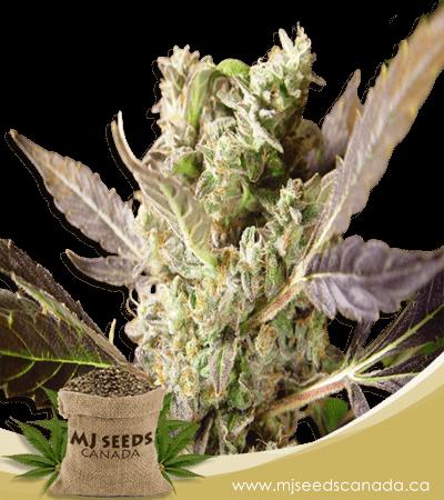 Somango Regular Marijuana Seeds